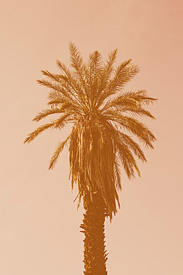 A date palm tree in low sunlight, against a pink sky.  - p1100m923407f by Paul Edmondson