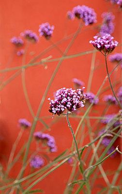 Wildblumen an der Mauer - p382m1540200 von Anna Matzen