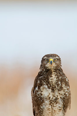 Scandinavia, Sweden, Smaland, Eurasian buzzard, close-up - p575m1074995f by Henrik Karlsson