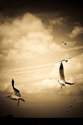 Seagulls - p975m729272 by Hayden Verry