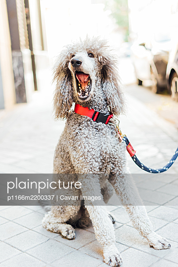 Portrait of sitting poodle opening his mouth in the city - p1166m2200337 by Cavan Images