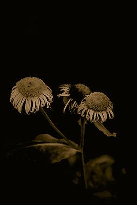 Asteraceae (Inula genus) - p1028m2215583 by Jean Marmeisse