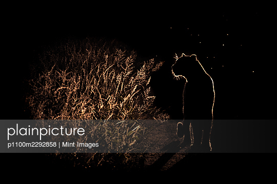 A leopard walks through long grass at night - p1100m2292858 by Mint Images
