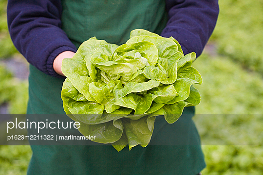 Person holds fresh head of lettuce - p1629m2211322 by martinameier.ch