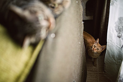 Tabby cat stalking other cat at home - p300m1120446f by Ramon Espelt