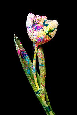 Weiße Tulpe mit bunten Farbspritzern - p451m2164277 von Anja Weber-Decker