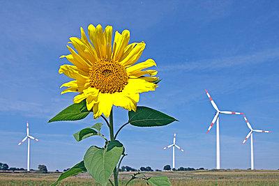 Sonnenblume - p0211430 von Siegfried Kuttig