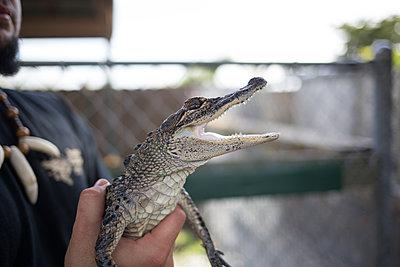 Kleiner Alligator - p1308m2057125 von felice douglas