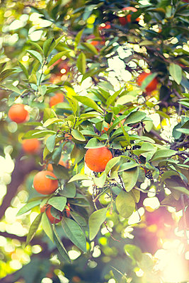 Orange tree - p432m887200 by mia takahara