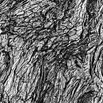 Maple Tree Bark, Close-Up - p694m2097221 by Lori Adams