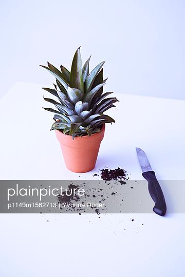 Ananas anpflanzen - p1149m1582713 von Yvonne Röder