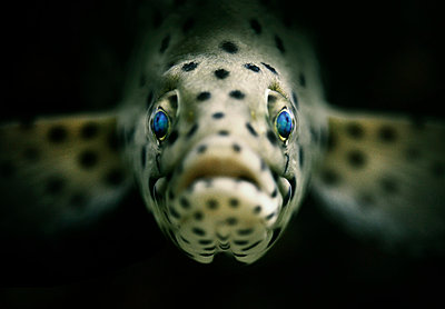 Close Up of a Panther Fish - p1072m874936 by Neville Mountford-Hoare