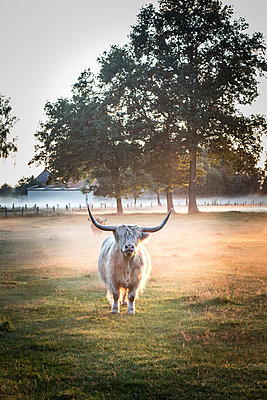 Galloway cattle - p403m916000 by Helge Sauber