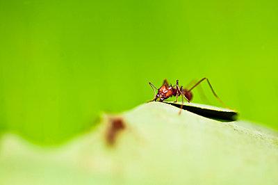Ant, Costa Rica - p1072m1022483f by DIANA DUARTE