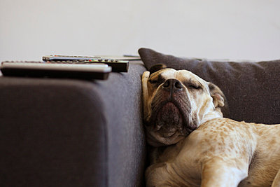 Old Englisch Bulldog sleeping on couch - p4030993 by Helge Sauber