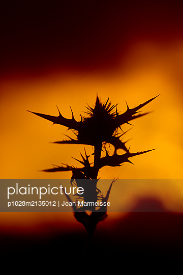 Thistle at sunset with mountain range in the distance - p1028m2135012 by Jean Marmeisse