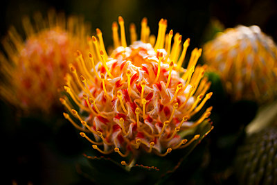 Three Pincushion Protea 'Veld Fire' (Leucospermum) flowers, close-up - p301m799537f by Tobias Titz