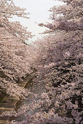Cherry blossoms - p307m1005823f by 12kagetu