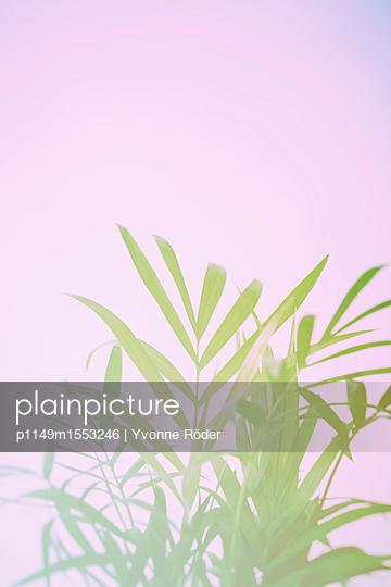 Parlour palm, Chamaedorea elegans - p1149m1553246 by Yvonne Röder