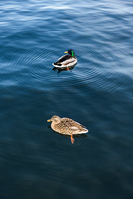 Couple of ducks - p1177m1221051 by Philip Frowein