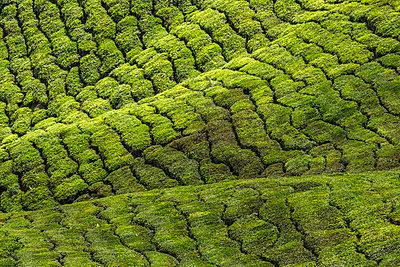 Malaysia, Cameron Highlands, Tea field - p343m1578177 by Konstantin Trubavin