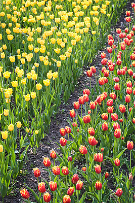 Field of tulips - p7350076 by Thomas Prinz