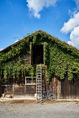 Barn overgrown with wild wine and ladder - p1312m2196179 by Axel Killian