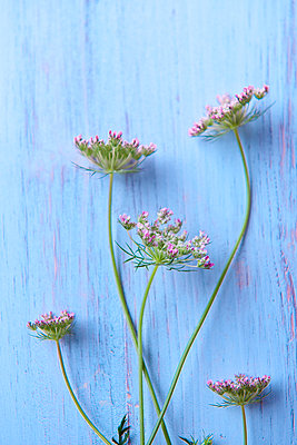 Blossoms of umbellifer - p533m1182316 by Böhm Monika