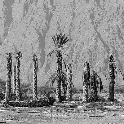 Dead palm trees  - p1542m2209878 by Roger Grasas