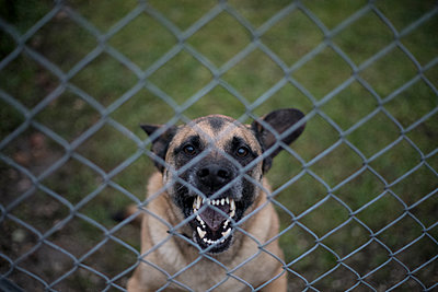 Dog barking behind bars - p445m1515209 by Marie Docher