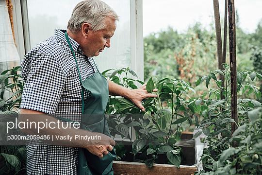 Mature man, gardener in greenhouse - p300m2059486 by Vasily Pindyurin