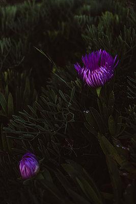 Purple-coloured blossom, close-up - p1326m2160878 by kemai