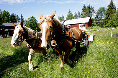 Farmer Driving Horses In The Field, northern Sweden - p8473591 by Annakarin Drugge