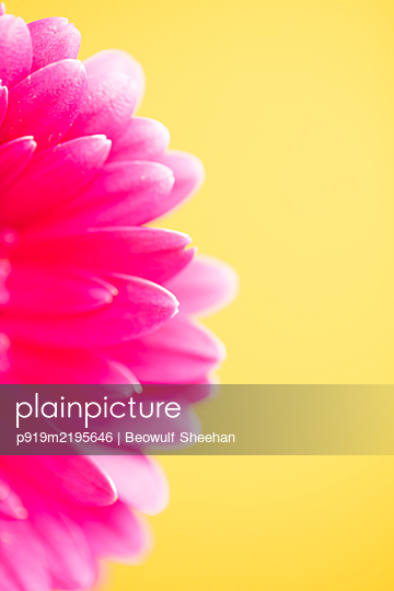 Pink petals of a gerbera against yellow background - p919m2195646 by Beowulf Sheehan