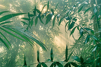 Rainforest vegetation in mist - p1100m875468 by Frans Lanting