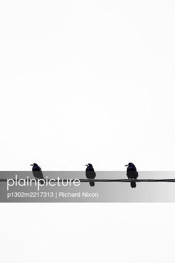 Three Rooks sitting on a power line  - p1302m2217313 von Richard Nixon