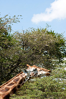 Giraffe in Nakuru; Kenya - p5330379 by Böhm Monika