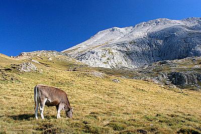 Kuhweide in den Alpen - p6370055 von Florian Stern