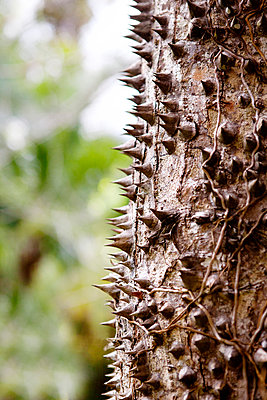 Close-up of thorny tree trunk - p1166m1037810f by Cavan Images