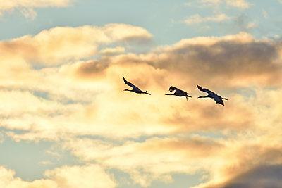 Drei Kraniche fliegen in den Sonnenuntergang - p235m2021745 von KuS