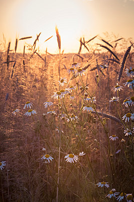 Germany, Baden-Wuerttemberg, false chamomile and rye field against the evening sun - p300m1047572f by Larissa Veronesi