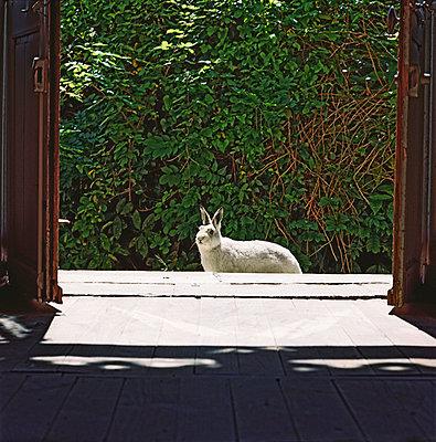 Rabbit in front of an entry door - p567m720731 by Sandrine Agosti Navarri