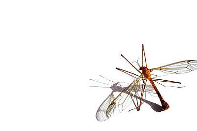 Tote Mücke - p8760112 von ganguin