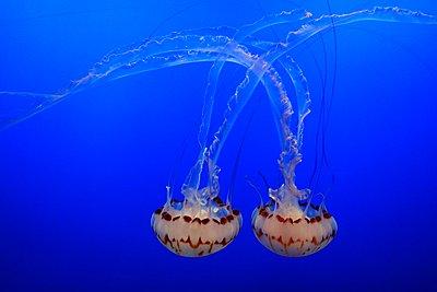 Jellyfish - p974m1109682 by Volker Banken