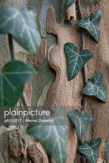 Ivy and tree trunk - p8110017 by Werner Dieterich