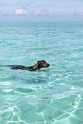 Dog swimming - p045m696790 by Jasmin Sander