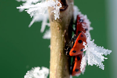 Three seven-spotted ladybirds, Coccinella septempunctata, on a twig with frost - p300m979024f by Mark Johnson