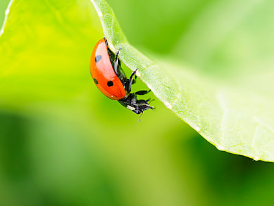 Ladybug on bok choi, in motion, eating an aphid; Upper Marlboro, Maryland, United States of America - p442m2033428 by Stefan Kaben