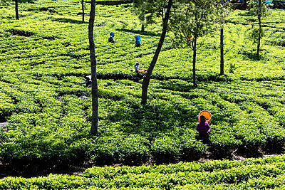 Women picking tea in a plantation in Sri Lanka - p590m2090550 by Philippe Dureuil