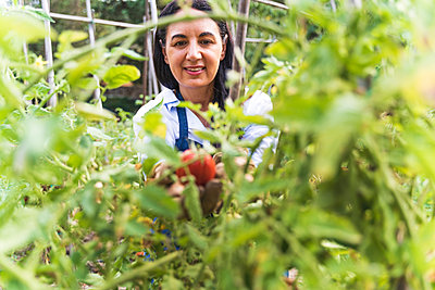 Smiling woman harvesting fresh organic tomatoes from vegetable garden - p300m2221155 by Francesco Morandini